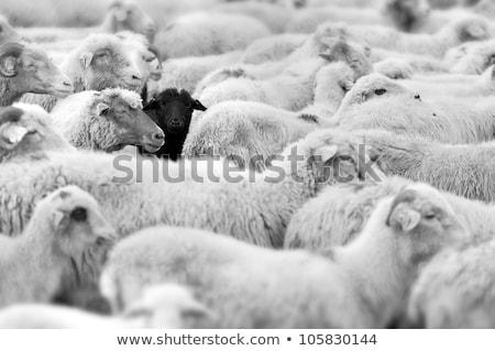 um · preto · ovelha · estilizado · família · diferente - foto stock © bluering