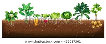 Zöldségek növekvő földalatti illusztráció étel kert Stock fotó © bluering