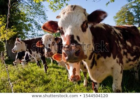 Vacas normandia França céu agricultura costa Foto stock © benkrut