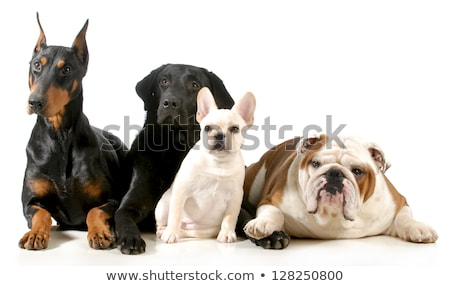 Hondenras doberman keten nek Stockfoto © goroshnikova