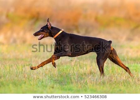 brown dog Doberman Pinscher runs gallop stock photo © goroshnikova