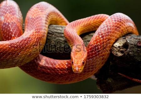 Czerwony węża drzewo ilustracja tle drzew Zdjęcia stock © bluering