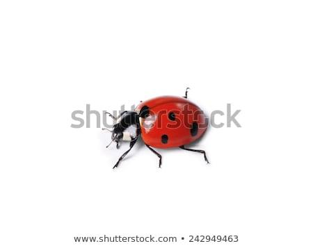 Beetle bug on white background Stock photo © bluering