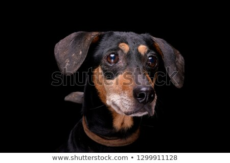 mixed breed brown dog portrait in black background Stock photo © vauvau