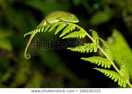 Camaleão espécies naturalismo habitat parque Madagáscar Foto stock © artush