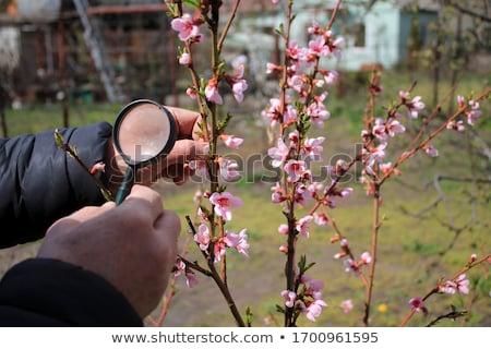 Landbouwer hand perzik bloesem tak Stockfoto © stevanovicigor