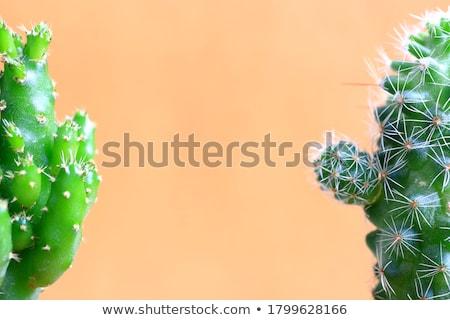 2 サボテン 植物 実例 自然 背景 ストックフォト © bluering