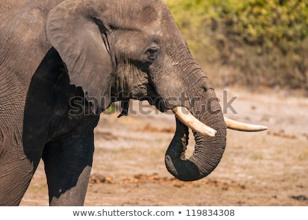 Side profile of an Elephant in Chobe. Stock photo © simoneeman