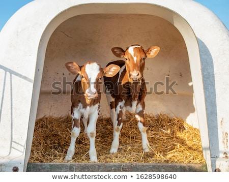 kettő · tehenek · eszik · fű · legelő · természet - stock fotó © monkey_business