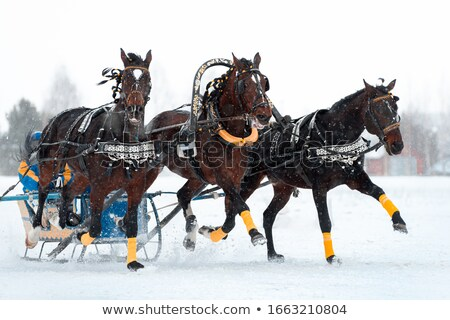 Rosyjski konie słynny konia zimą uruchomiony Zdjęcia stock © sahua
