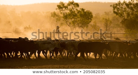 cow herd at dusk Stock photo © taviphoto