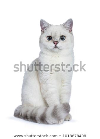 Zilver zegel punt brits korthaar geïsoleerd Stockfoto © CatchyImages