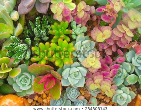 Succulent plant growing in rocks Stock photo © vapi
