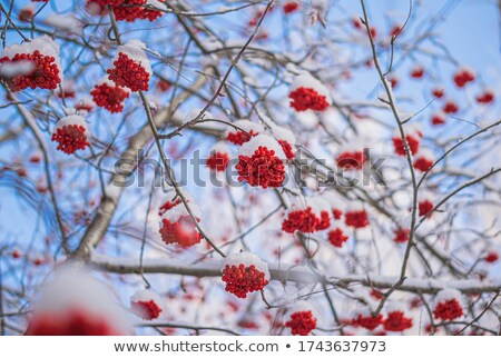 Rowanberry covered rime Stock photo © RuslanOmega
