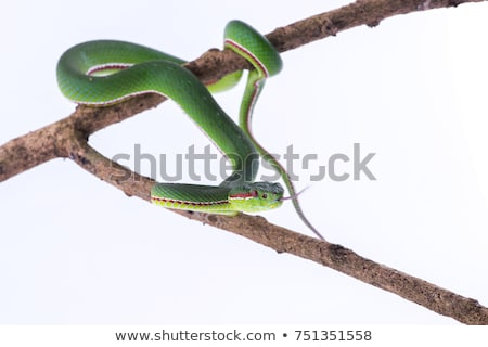 wild green viper trimeresurus Stock photo © smithore