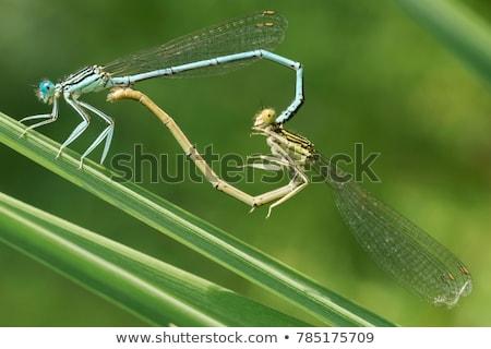 Dragonfly трава глазах тело крыльями дракон Сток-фото © njaj