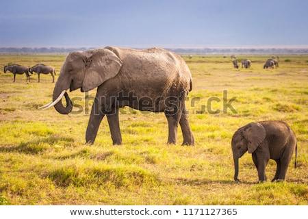 Afrika fil yürüyüş büyük erkek dışarı seyahat Stok fotoğraf © fouroaks
