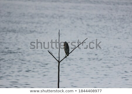 Indian Pond Heron on a branch Stock photo © calvste