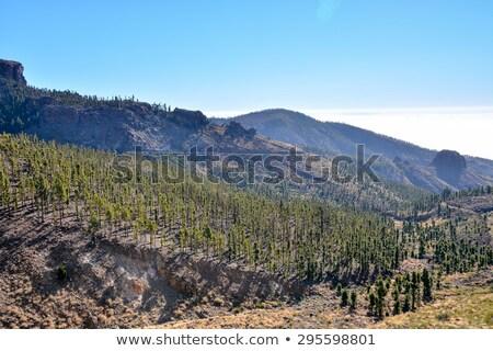 Parque tenerife canário pinho natureza árvores Foto stock © lunamarina