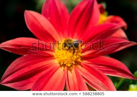 マルハナバチ コレクション 花粉 赤 花 春 ストックフォト © ozaiachin