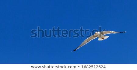 Black gull in flight Stock photo © Undy