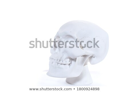 Human skull model. Stock photo © Hermione