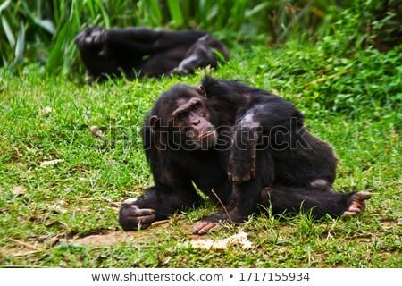 Chimpanzé alertar sessão grama olhando natureza Foto stock © KMWPhotography