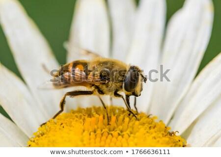 Biene · Gänseblümchen · Blume · Arbeit · Hintergrund - stock foto © rhamm