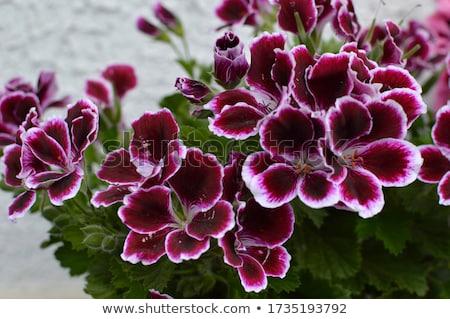 Purple Geraniums Stock photo © bobkeenan