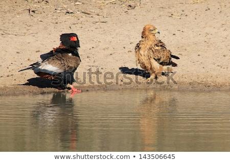 イーグル アフリカ 水 戦う 不一致 ストックフォト © Livingwild