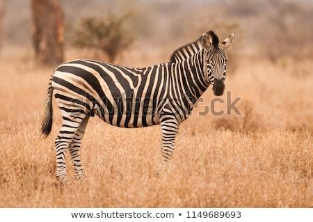 alföld · zebra · iszik · ivóvíz · dél · víz - stock fotó © dirkr