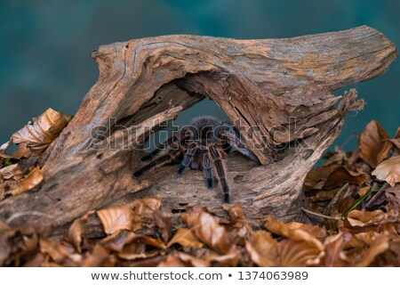 Chilean Rose Tarantula Stock photo © Kirill_M