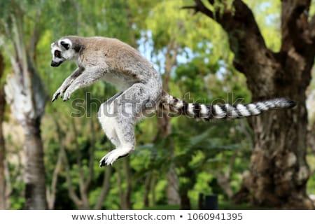 ring tailed lemur lemur catta stock photo © chris2766