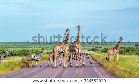 mangiare · giraffa · parco · Sudafrica · cielo · africa - foto d'archivio © compuinfoto