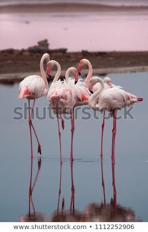 フラミンゴ · ナミビア · 鳥 · 水 · 家族 · 海 - ストックフォト © imagex