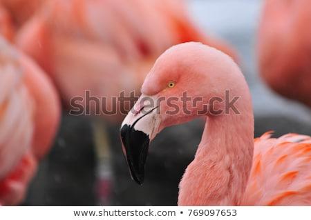 Flamingó portré föld természet fekete állat Stock fotó © Elenarts