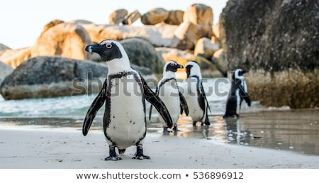 アフリカ ペンギン 徒歩 海 ビーチ ケープタウン ストックフォト © dirkr