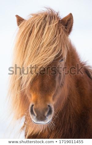 Groep boerderij IJsland gras natuur paard Stockfoto © alexeys