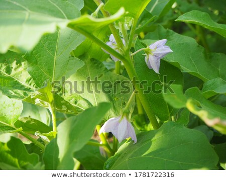 Fresh eggplants with leaves Stock photo © dashapetrenko