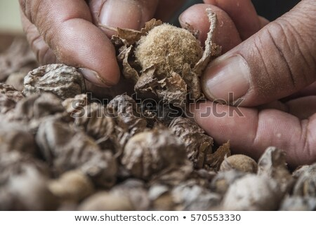 Teak seed untreated (tectona grandis) Stock photo © ziprashantzi