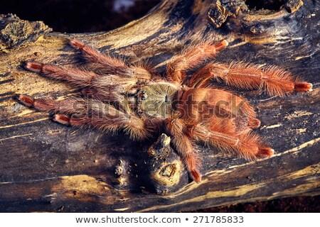 tarantula Tapinauchenius gigas Stock photo © master1305