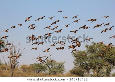 Sand Grouse Bird Stock photo © fouroaks