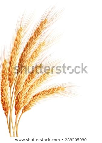 búza · farm · illusztráció · tájkép · arany · égbolt - stock fotó © beholdereye