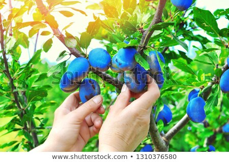 Picked Plums stock photo © funix