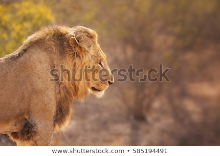Side profile of a Lion in the Kruger National Park Stock photo © simoneeman