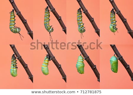 Monarch butterfly - Danaus plexippus - larva stage Stock photo © bluering