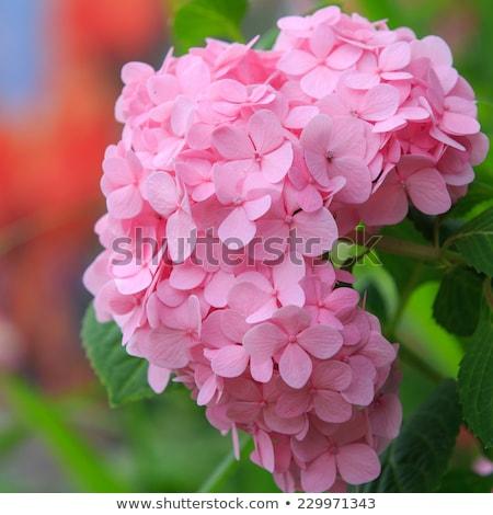 pink Hydrangea macrophylla in garden Stock photo © compuinfoto