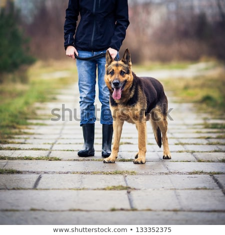 master and her obedient german shepherd dog stock photo © lightpoet