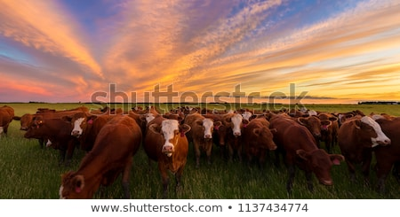 скота пастбище фермы луговой коричневый Сток-фото © aro1