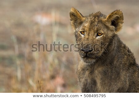 Face of a dirty Lion cub in the Kruger. Stock photo © simoneeman